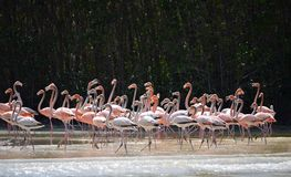 View of pink flamingos Royalty Free Stock Photography
