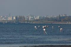 View of pink flamingos in Evros, Greece. Royalty Free Stock Photos