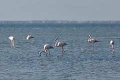 View of pink flamingos in Evros, Greece. Royalty Free Stock Photo
