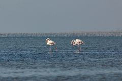 View of pink flamingos in Evros, Greece. Royalty Free Stock Images