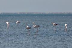 View of pink flamingos in Evros, Greece. Stock Photos
