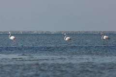 View of pink flamingos in Evros, Greece. Stock Photography