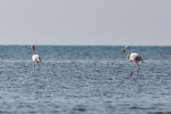 View of pink flamingos in Evros, Greece. Stock Image