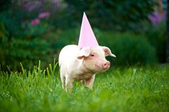 View of pink piggy standing in garden on green grass and looking at camera. royalty free stock images