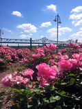View from pink rose garden looking out at steel bridge over Illinois river. Closeup of rows of bright pink roses along the river walk in downtown Peoria, IL with royalty free stock images