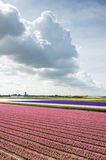 View of the pink and violet hyacinth fields in the Netherlands Stock Photography