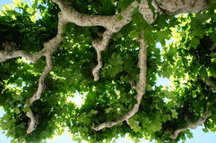 View in a plane tree Stock Photography