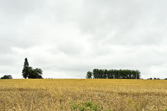 View of plantation of ripe wheat Royalty Free Stock Photography