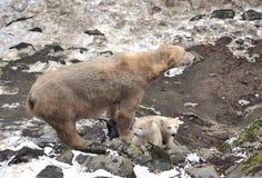 Polar bear. View of the polar bear with cubs Stock Photography