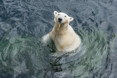 Polar bear standing in the water. View of polar bear standing in the water stock images