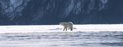 A view of a polar bear on Svalbard. A view of a polar bear on ice sheet stock image
