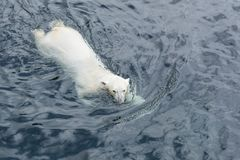 View of polar bear swimming in the water. View of polar bear swimming in cold water royalty free stock photography