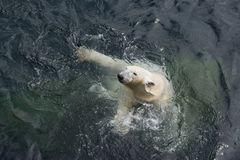 View of polar bear swimming in the water. View of polar bear swimming in cold water stock images