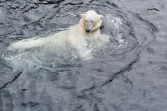 View of polar bear swimming in the water. View of polar bear swimming in cold water stock photography