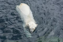 View of polar bear swimming in the water. View of polar bear swimming in cold water royalty free stock image