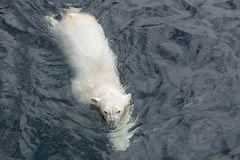View of polar bear swimming in the water. View of polar bear swimming in cold water stock image
