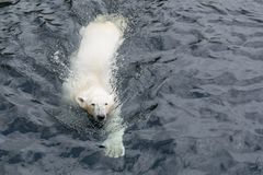 View of polar bear swimming in the water. View of polar bear swimming in cold water royalty free stock images