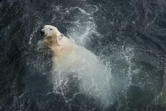 View of polar bear swimming in the water. View of polar bear swimming in cold water stock photos