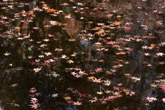A view the pond in late autumn. Maple leaves floating on the pond in late autumn stock photo