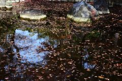 A view the pond in late autumn. Maple leaves floating on the pond in late autumn stock images