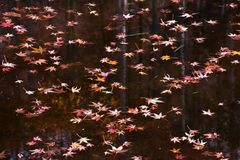 A view the pond in late autumn. Maple leaves floating on the pond in late autumn royalty free stock photo