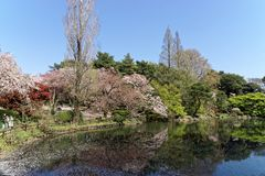 View by the Pond. A view of a pond in a park in Tokyo with floating cherry blossoms royalty free stock photos