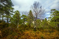 View of the post-glacial Caledonian Forest at Beinn Eighe Nature Reserve near Kinlochleven in the Highlands of Scotland. This rare and untouched landscape is stock image