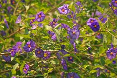 POTATO BUSH SHRUB COVERED IN FLOWERS. View of potato bush covered with purple flowers in a garden in summer Stock Photos