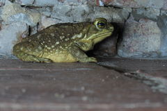 View profile frog. Close up Royalty Free Stock Image