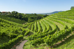 View of Prosecco vineyards from Valdobbiadene, Italy during summer, at morning royalty free stock photos