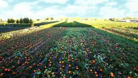 View of pumpkin field. Aerial view of pumpkin field stock footage