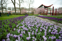 View of purple crocuses in Keukenhof garden, Netherlands Stock Images