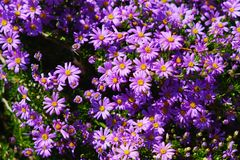 View of purple Osteospermum african daisies in Cape Town royalty free stock image