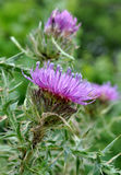 View on a purple thistle in bloom Stock Image