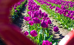 View of Purple Tulips Stock Images