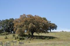 Quercus ilex tree. View of quercus ilex tree landscape in Alentejo Royalty Free Stock Photography