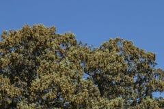 Quercus ilex tree. View of quercus ilex tree landscape in Alentejo Royalty Free Stock Photo