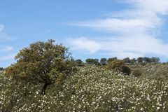 Quercus ilex tree. View of quercus ilex tree landscape in Alentejo royalty free stock photography