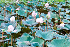 View of quiet backwater lake with lotuses Royalty Free Stock Images