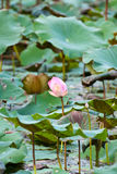 View of quiet backwater lake with lotuses Stock Image