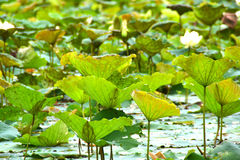 View of quiet backwater lake with lotuses Stock Images