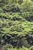 View of a rainforest where a lot of tree ferns are growing, New stock images