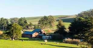 View of ranch in Tomales California on a sunny winter day. Cows feeding in the green fields in front of rustic barns and green trees royalty free stock photography
