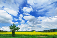 View of rapeseed field under overcast sky Royalty Free Stock Photo
