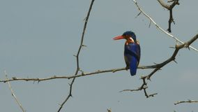 View of the rear of a malachite kingfisher at lake baringo