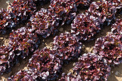 View of red Batavia lettuce cultivation Royalty Free Stock Image