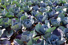 View of red cabbages cultivation Stock Image