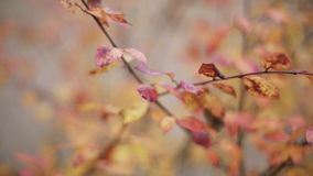 View red, orange leaf on branch of tree in autumn park. Calmly waving on wind. Nature. Focus in out stock video footage