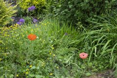 Buttercups and red poppy stock photography