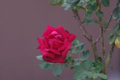View of red rose against blurred gray background stock image